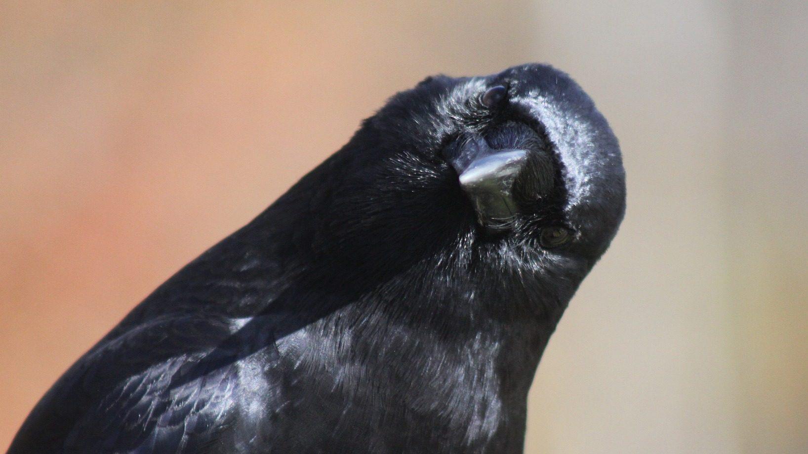 Image: Crow looking at camera
