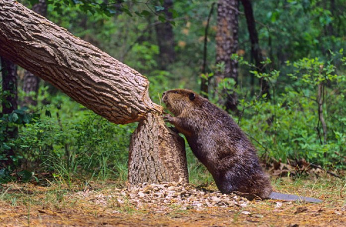 Image: Beaver on land standing next to their freshly chewed down tree, demonstrating their importance within their ecosystems