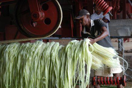 Image: Man stripping fibers of sisal by using decorticator