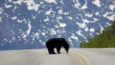 Image: American Grizzly in the middle of a paved road