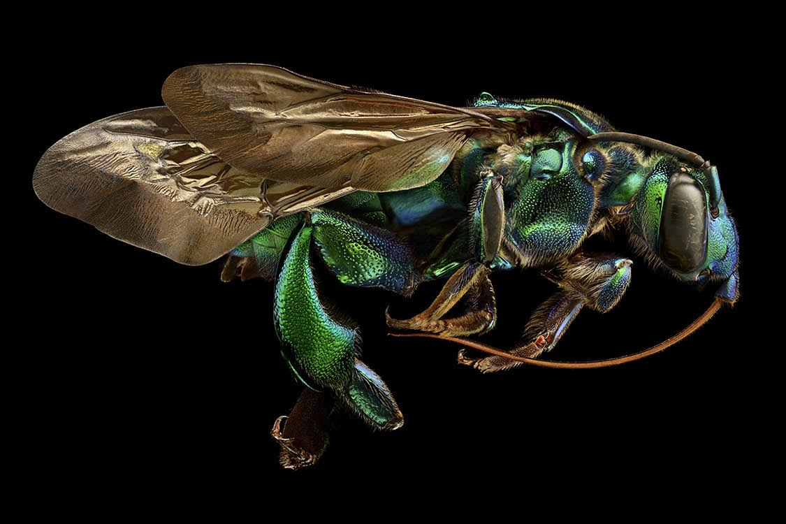 Image: Levon Biss, Orchid Cuckoo Bee, Brazil. Exaerete frontalis (Hymenoptera, Apidae).The Orchid Cuckoo Bee of the most spectacular of all bees in terms of size, colour and microsculpture. We usually think of bees as benign, helpful creatures, but Exaerete is a cuckoo bee. Instead of collecting pollen and constructing their own nests, female cuckoo bees enter the nests of other bees and lay their eggs in the host's brood cells. This particular specimen has grown to a large size by consuming the pollen diligently collected by its host.