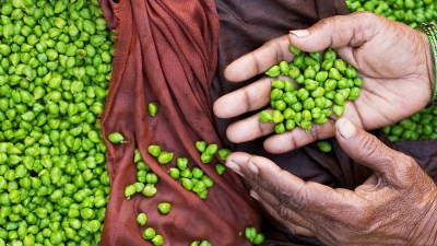 Image: Hard working hands scooping up bright green chickpeas
