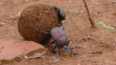 Image: Two dung beetles rolling a perfect ball of dung ten times larger than they are!