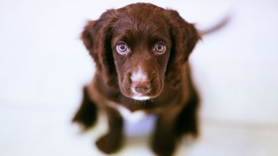 Image: Cute, sad eyed brown puppy