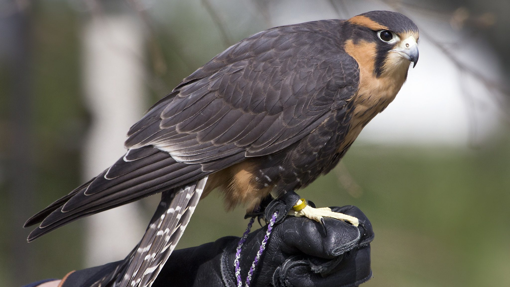 Image: Falcon sitting on a gloved hand