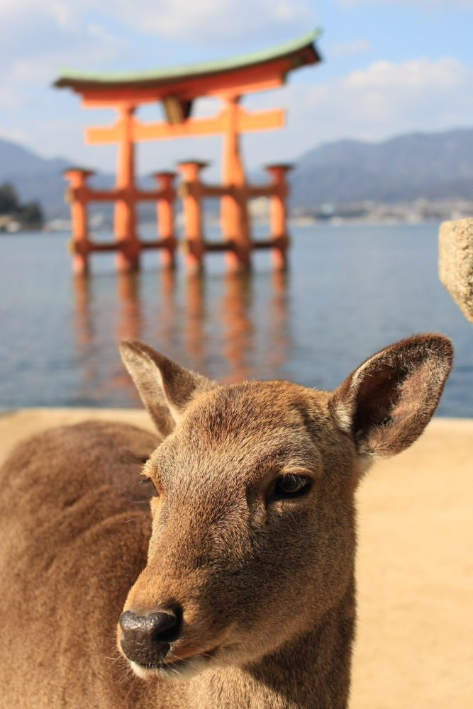 miyajima deer torii gate 667x1000 - A day trip to Miyajima from Kyoto, Japan