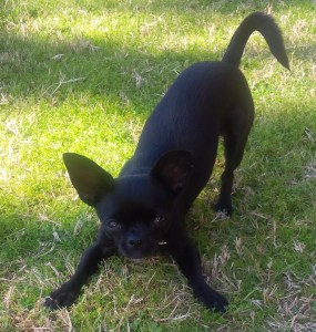 Olive is ready to play, Beth's Chihuahua-French Bulldog
