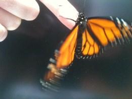 Monarch BabyB