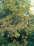 Yellow Hickory