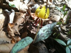 Trout Lily Yellow