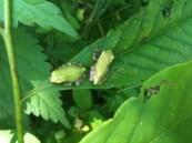 Gray Treefrogs!!