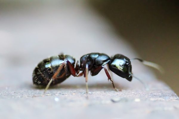pest control with essential oils ants