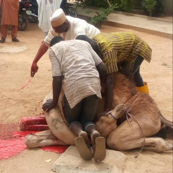 Guber Election: Kano Electorate Go Spiritual… Kill Camel, Travel to Mecca