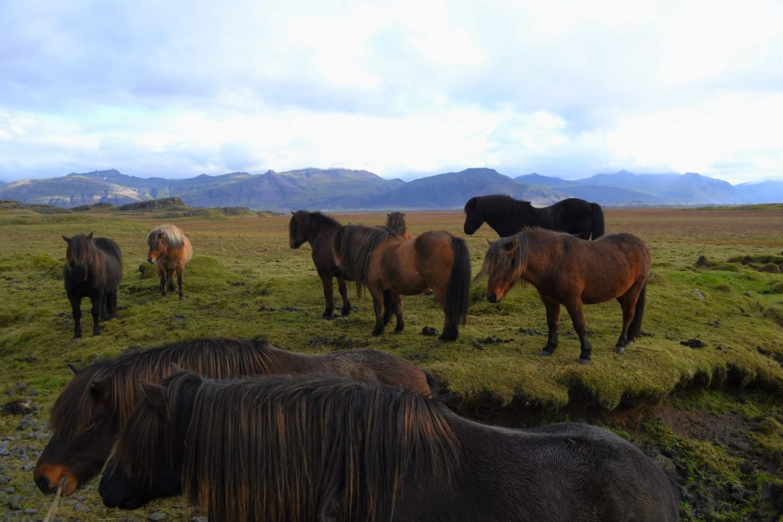 Icelandic horses, Iceland