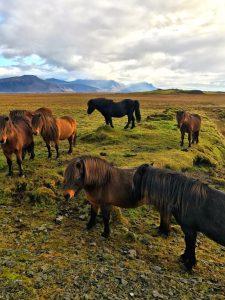 Icelandic Horses, Iceland. 20 Photos Of Iceland