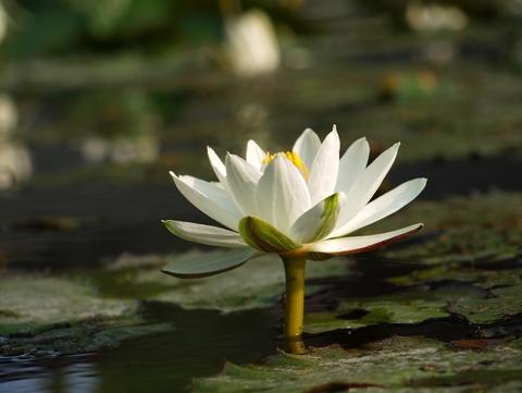 Image result for white lotus flower