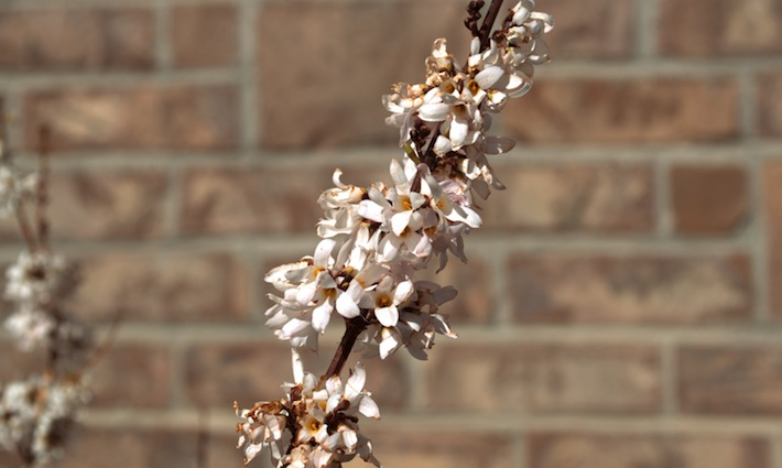 white forsythia, pink form