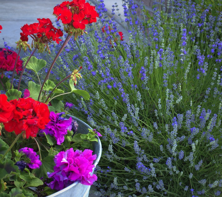 geraniums, petunias, and lavender