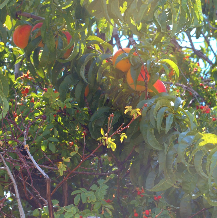 peaches and rose hips