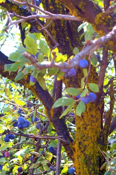 plums, mossy trunk