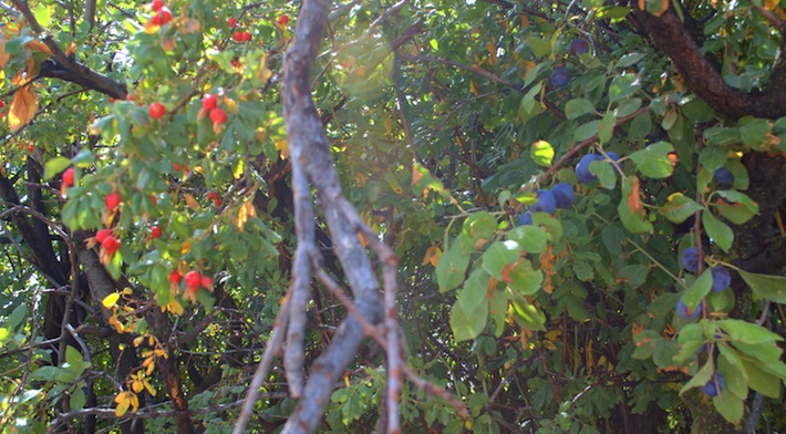 plums and rose hips
