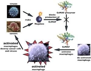 GcMAF and Nagalase interaction