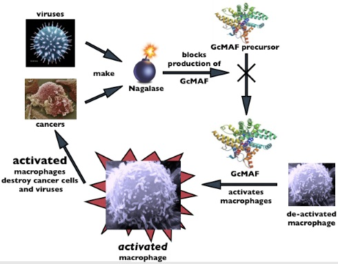 GcMAF and Nagalase interaction