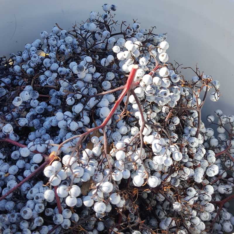 Elderberries picked in a bucket