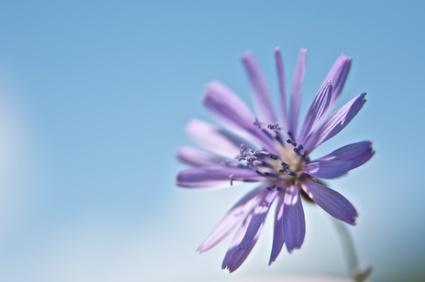 Сиреневы цветок