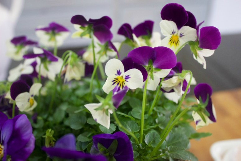Spring Violets | The Everyday Home | www.everydayhomeblog.com