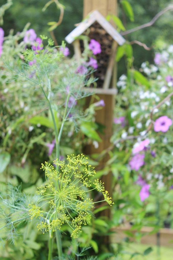 Dill in the Garden   The Everyday Home