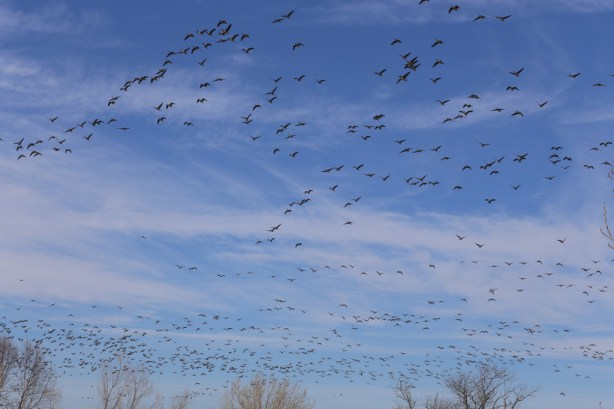 011416geese2