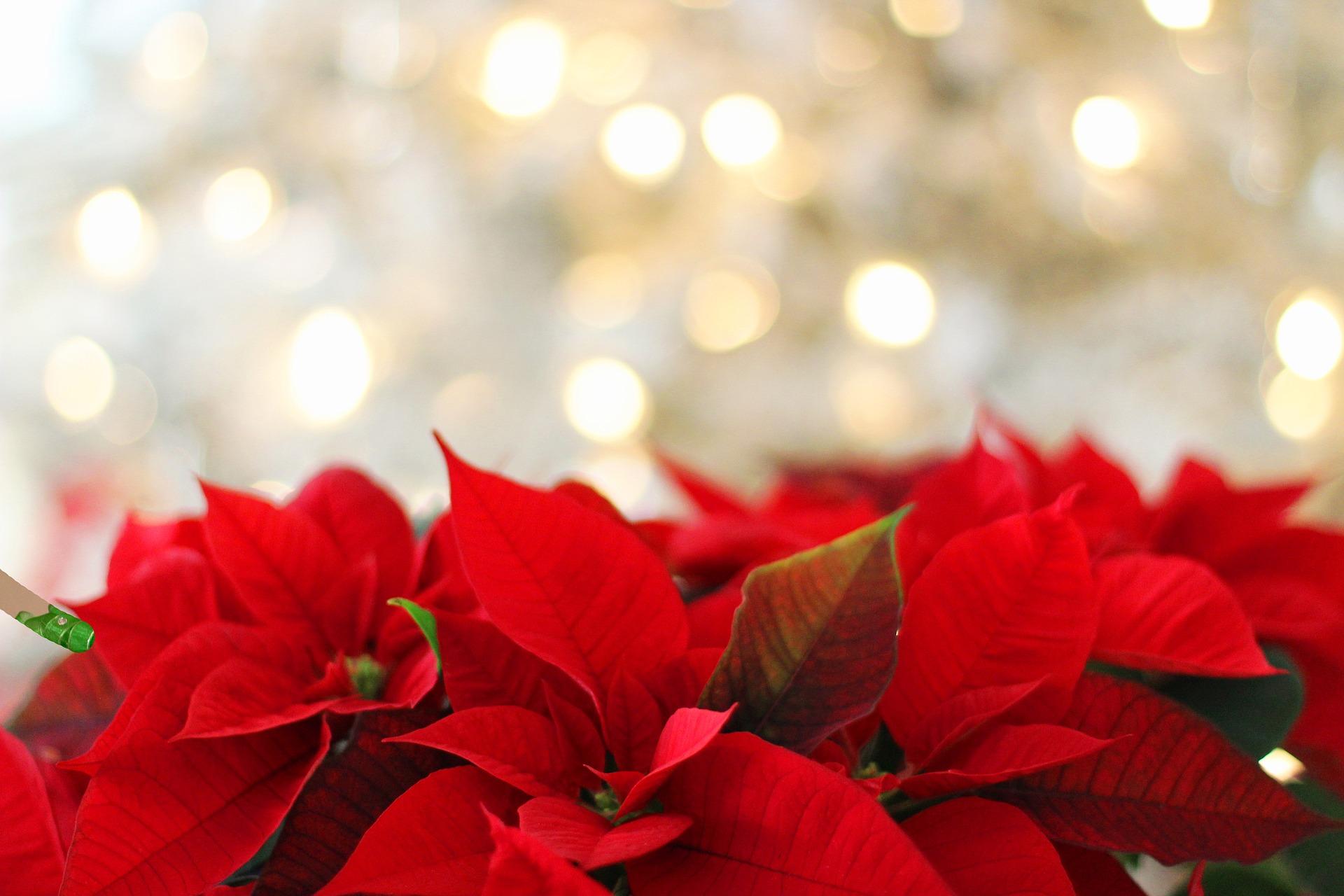 Photo of red poinsettias
