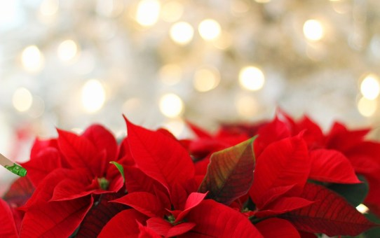 Photo of red poinsettias