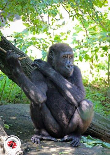Gorilla at the Cincinnati Zoo