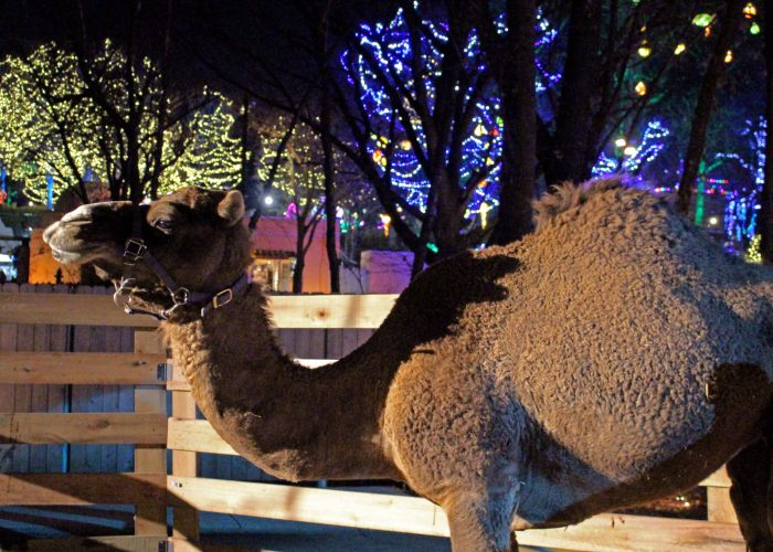 Camel by Nativity Scene at WinterFest at Worlds of Fun