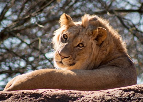 An African lion at the zoo in Atlanta