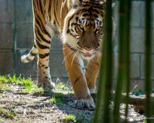 Tiger at Zoo Atlanta