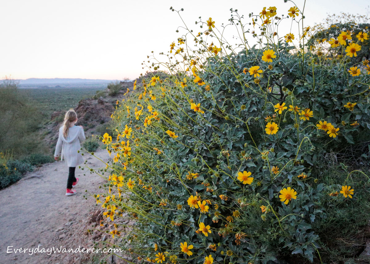 A Guide to Arizona Wildflowers