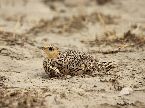 Female sandgrouse