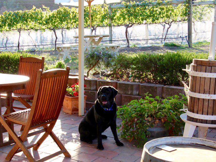 Every Man and His Dog Vineyard Bed and Breakfast - Your host, Archie the Black Labrador