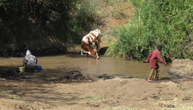 Cow in the drinking water source
