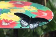 Great Yellow Momon butterfly