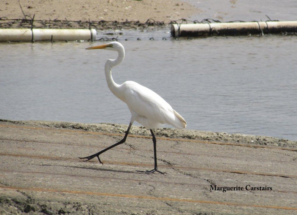 Egret Takes a walk on the wild side (2/6)