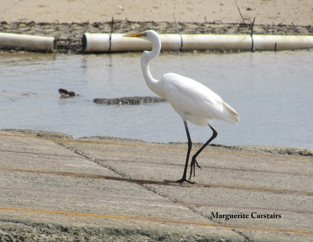 Egret Takes a walk on the wild side (3/6)