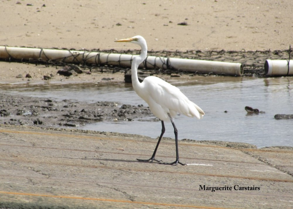 Egret Takes a walk on the wild side (5/6)