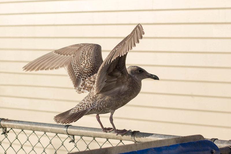 washington coast seagull