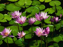 Water Lilies...so bright and colorful in the noon sun.