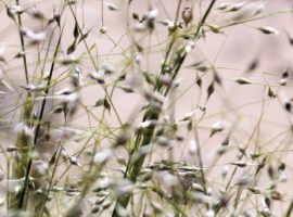 Nevada's State Grass and the Kangaroo Rat