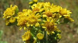 Ragwort Poisoning